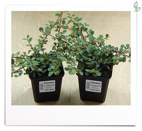 Cotoneaster dammeri 'Frieders Evergreen'