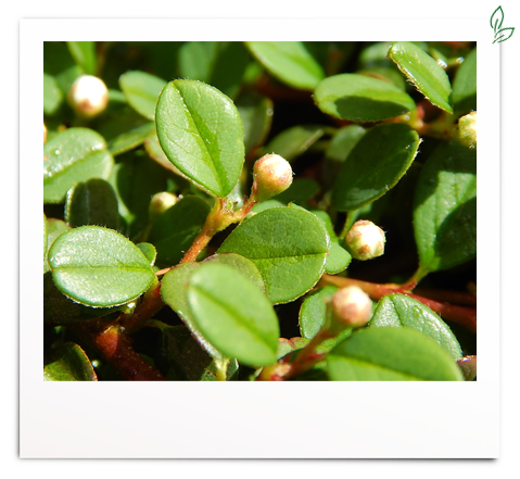 Cotoneaster micro. 'Streib´s Findling'