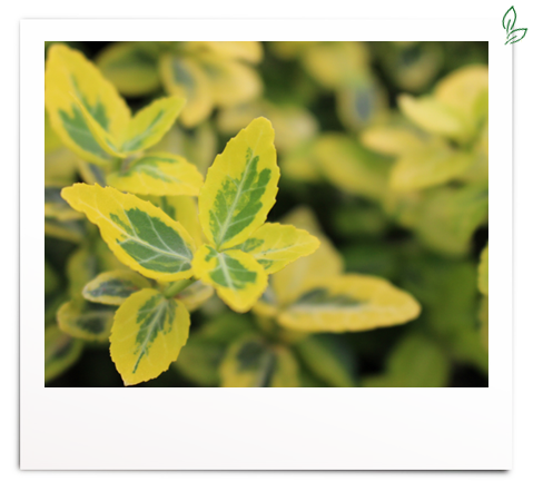 Euonymus fortunei 'Emerald`n Gold'