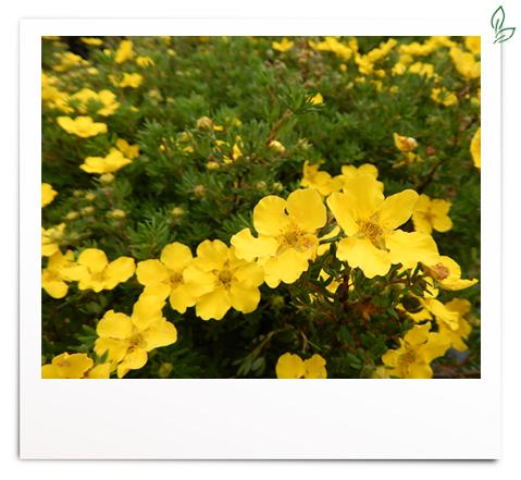 Potentilla 'gelb'