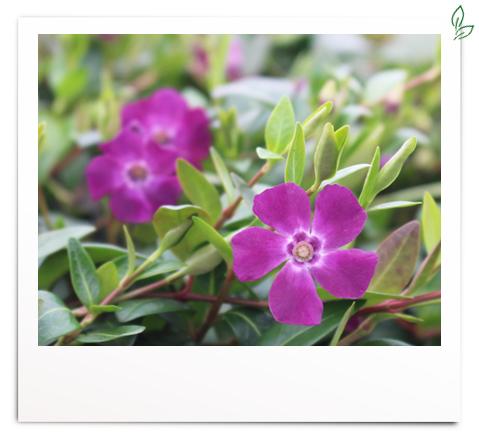 Vinca minor 'violett blühend'