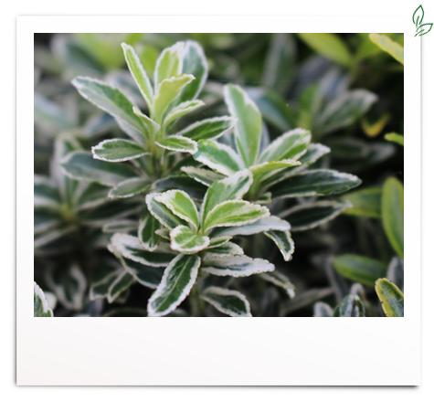Euonymus jap. 'Grey Beauty'