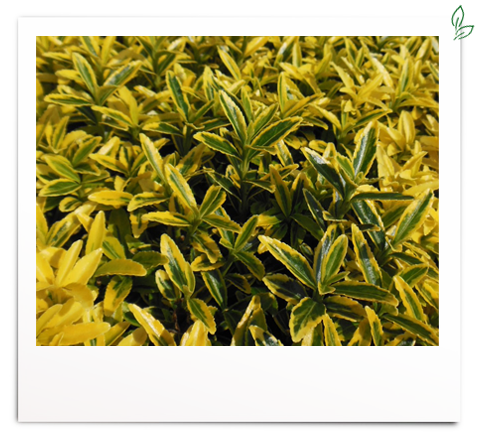 Euonymus jap. 'Microphyl. Gold'