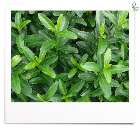 Euonmyus jap. 'Microphyl. Green'